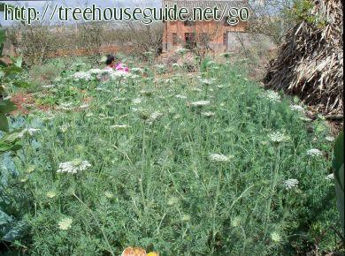 Domestication - of - wild carrot (Queen Anne's Lace ) - in - rural - Yunnan - Pictures/Photography