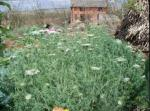Domestication - of - wild carrot (Queen Anne's Lace ) - in - rural - Yunnan